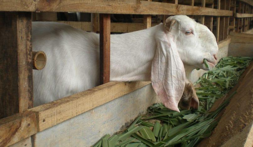 cara berbisnis kambing