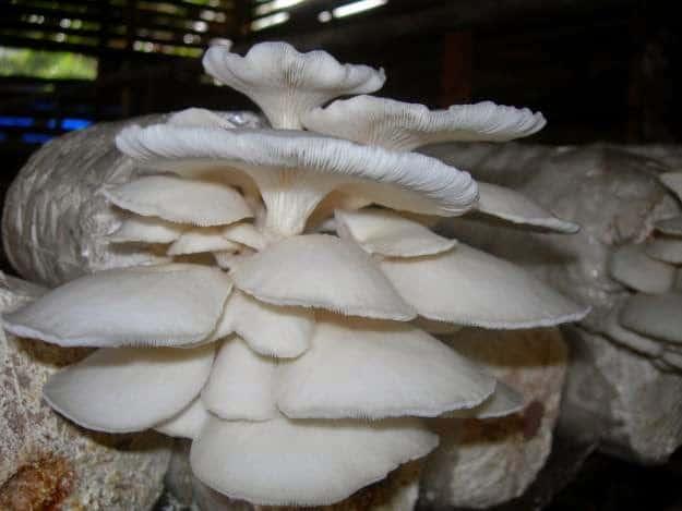 bisnis jamur