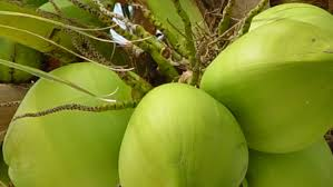 bisnis kelapa