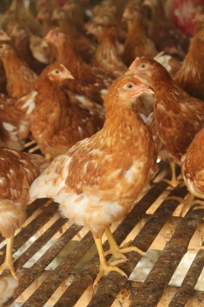 cara bisnis ayam petelur