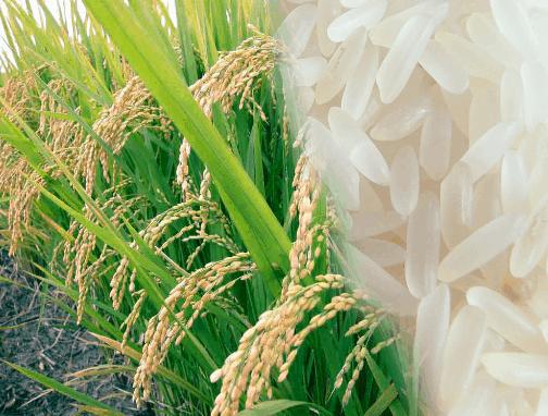 cara berbisnis beras
