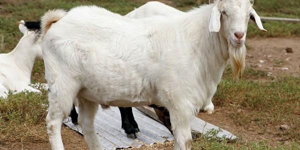 manfaat ternak kambing
