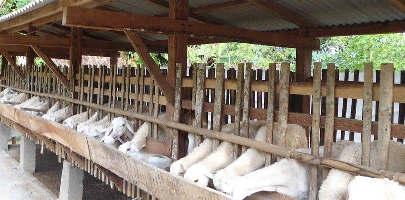 bisnis kambing
