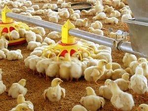 panduan bisnis ayam potong