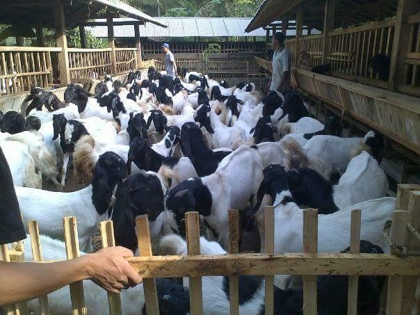 cara bisnis kambing