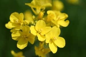 Brassica Rapa untuk Kolesterol